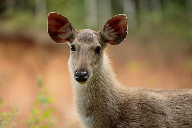 Выстрел в голову оленя самбар в национальном парке кхаояй, таиланд