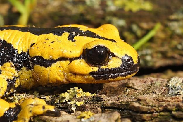 黄色のサンショウウオ(salamandra bernardezi)のヘッドショット