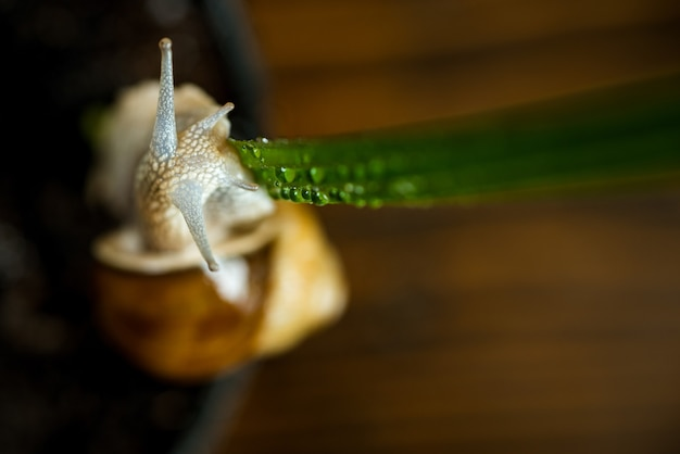 粘液を癒します。化粧品とカタツムリの粘液。カタツムリ農場のコンセプト。緑の植物の近くのかわいいカタツムリ。自然療法。愛らしいカタツムリのクローズアップ。シェル植木鉢と小さなスライム。美容美容法