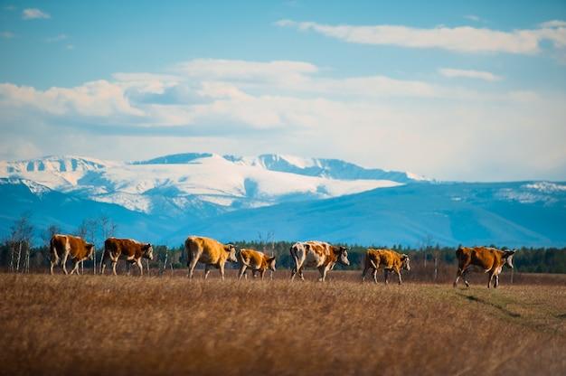 Здоровая и упитанная корова на пастбище в горах, с селективным вниманием.