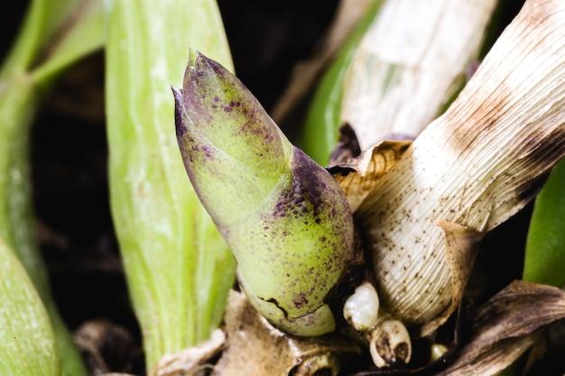 온실에서 성장하는 난초의 건강한 새싹. 난초, 포엽, 잎 겨드랑이 및 보이는 의사 구근의 해부학