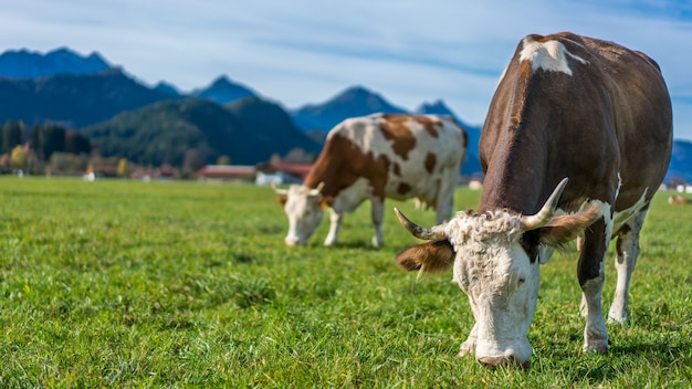 Healthy cattle cows in green grass pasture with mountain view background
