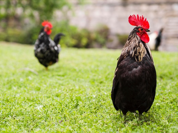 Healthy chickens walking outdoors