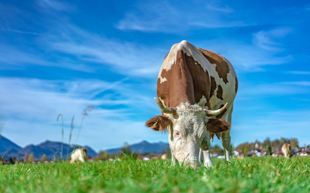Healthy dairy cattle