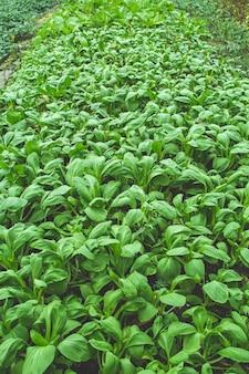 할당 플롯에서 자라는 건강한 녹색 채소.