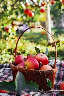 바구니에 건강한 유기농 붉은 익은 사과. 시골 정원의 가을. 자연에서 신선한 사과입니다. 마을, 소박한 스타일의 피크닉. 자연 사과 주스에 대 한 사과 정원에서 구성입니다.