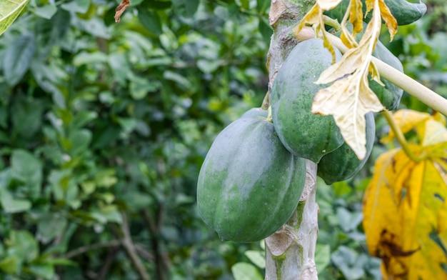 정원에 복사 공간이 있는 나무에 있는 건강한 생 유기농 파파야 과일