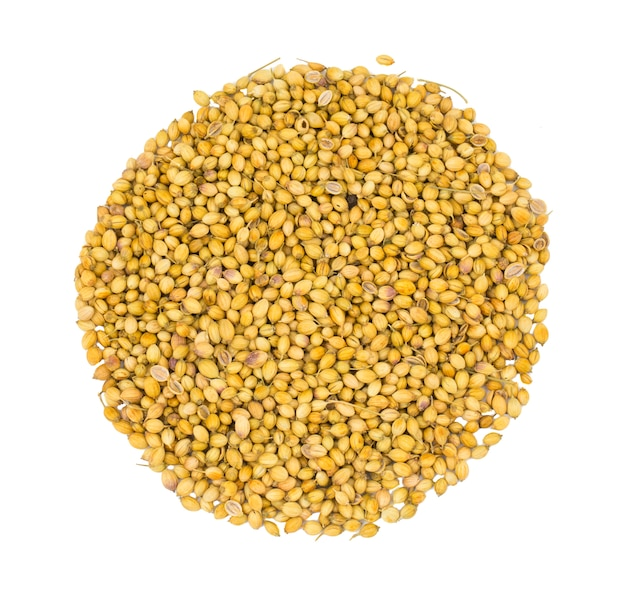 Heap of dried coriander seeds or dhaniya on white background