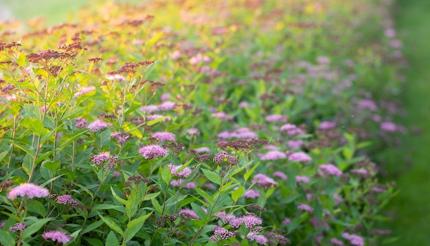 裏庭に鮮やかなピンクのシモツケが咲き乱れる