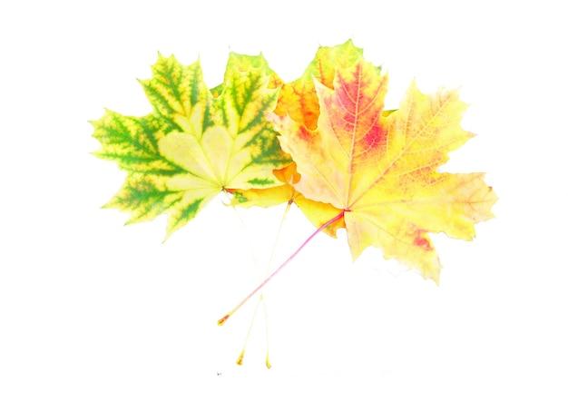 白の上に完璧な秋の葉の山。白で隔離