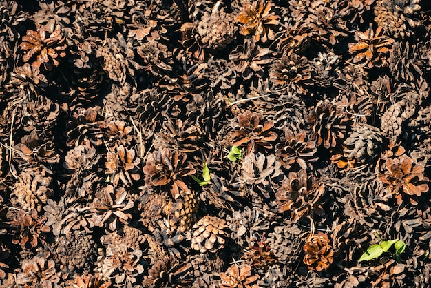 Heap of pine cones close up.