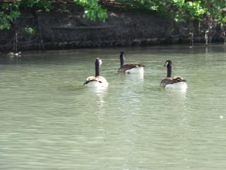 Heard of happy ducks, geese