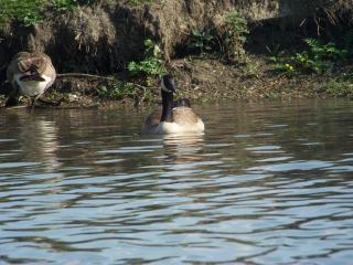 Heard of happy geese