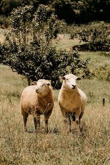野外で羊が放牧しているのを聞いた