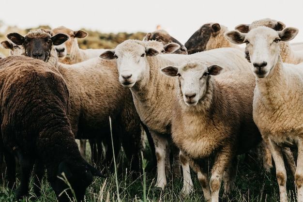 Heard of sheep grazing in the field
