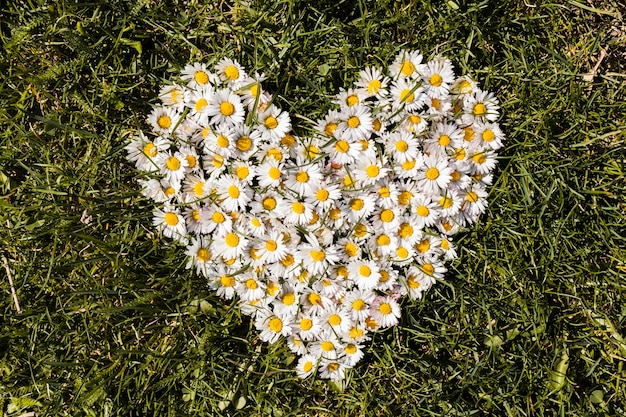 Heart of daisies flowers