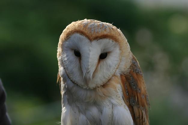 Heart shape face of a barn owl