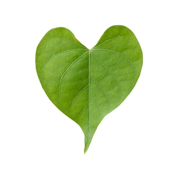 Heart shape of green leaf isolated on white background