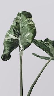 하트 모양의 alocasia 잎 모바일 벽지