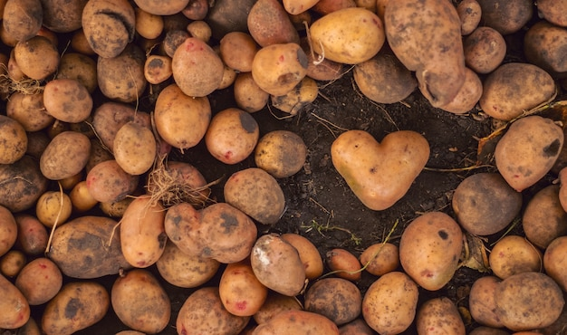 Грязный картофель в форме сердца на растительном коричневом.