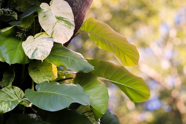 Heart shaped leaves vine, devil's ivy, golden pothos growing on tree.