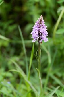 봄철에 꽃이 피는 히스 점박이 난초(dactylorhiza maculata ericetorum)