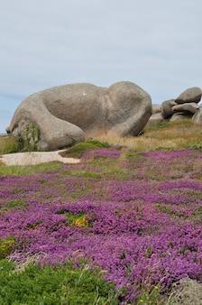 ブルターニュのピンクの花崗岩の海岸のヘザーと岩