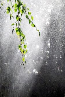 Heavy rain. drops on a birch branch. sun glare