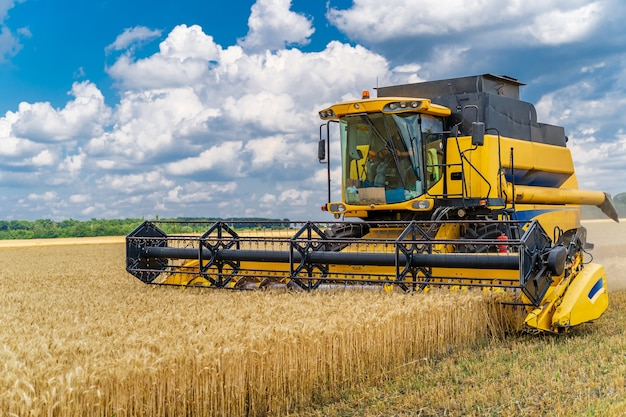 Heavy technics in wheat field. yellow combine harvesting dry wheat. observing process. front view.