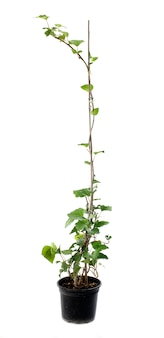 Hedera canariensis plant on white