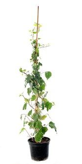 Hedera helix on white