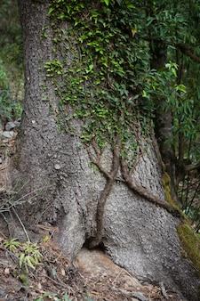 산 숲에서 트렁크에 hedera nepalensis