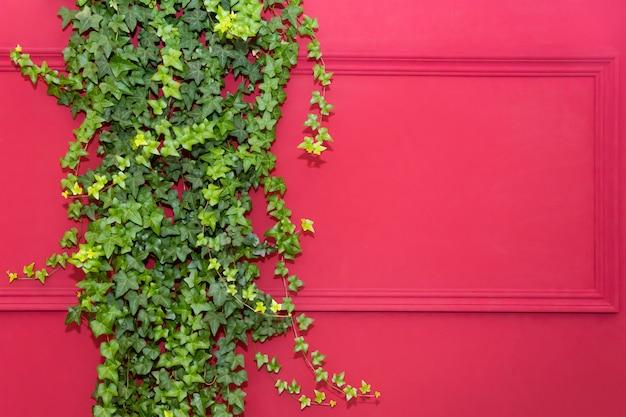 Красная стена с рамой, наполовину покрытой плющом. также известный как спираль hedera, английский плющ или европейский плющ. копировать пространство