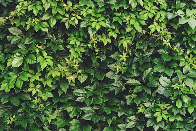 Hedge of big green leaves in spring. green fence of parthenocissus henryana.