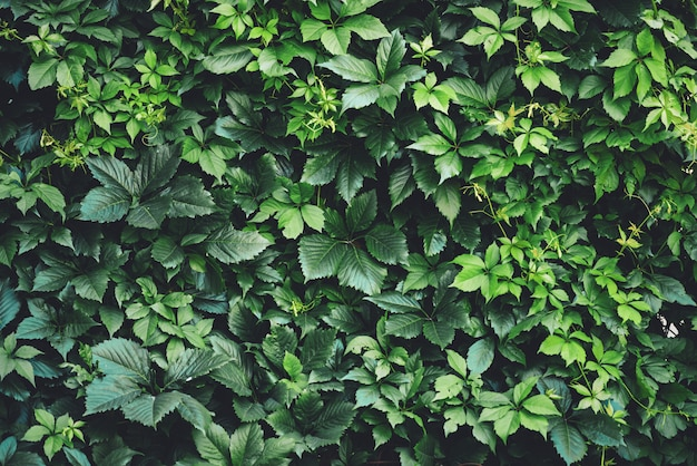 Hedge of big green leaves in spring.