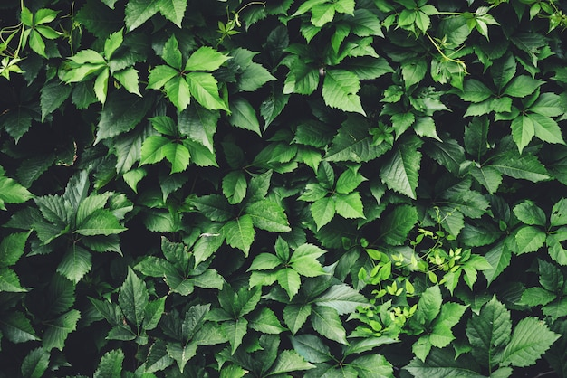 Hedge of big green leaves