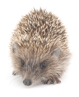 Hedgehog, 3 weeks old, in front of white background