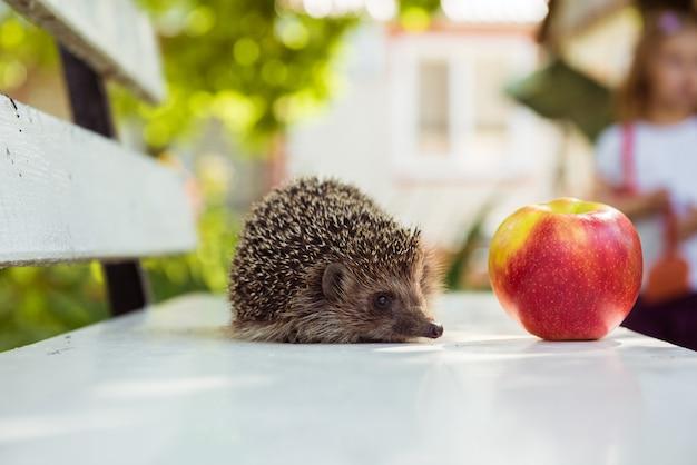ハリネズミと赤い熟したリンゴ。コピースペース