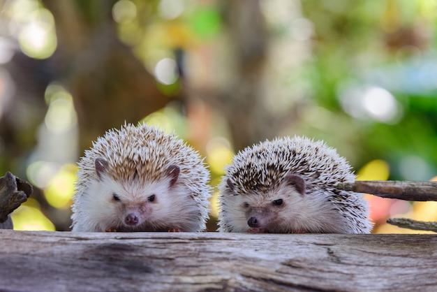 Hedgehog  bokeh  background