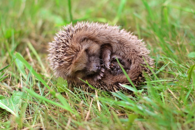 The hedgehog curled up in a ball on the grass