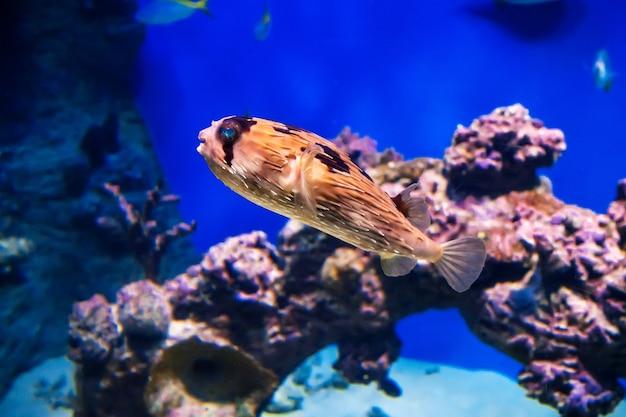 Hedgehog fish swimming under water in an aquarium