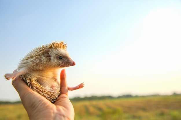 Hedgehog funny can fly in hands with nature background