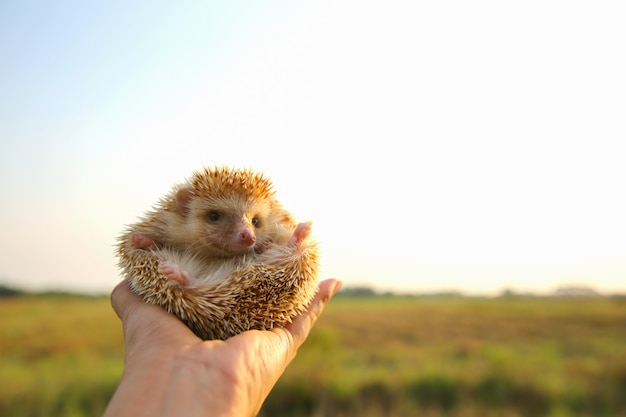 Hedgehog funny in hands with nature background