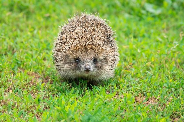 Hedgehog on the grass