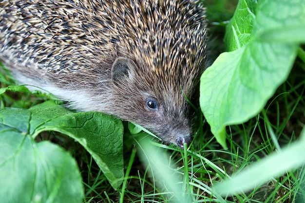 The hedgehog is hiding in the bushes