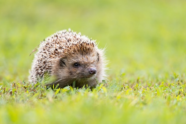 The hedgehog is lying in the sun on the green grass on the lawn