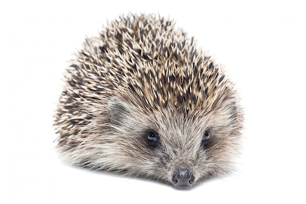 Hedgehog isolate photographed in the studio