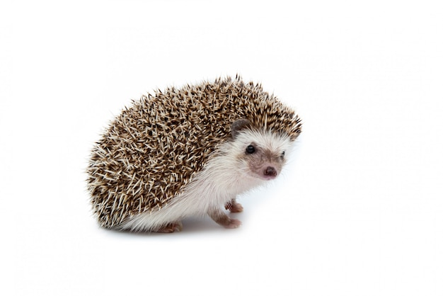 Hedgehog isolated on the white background.