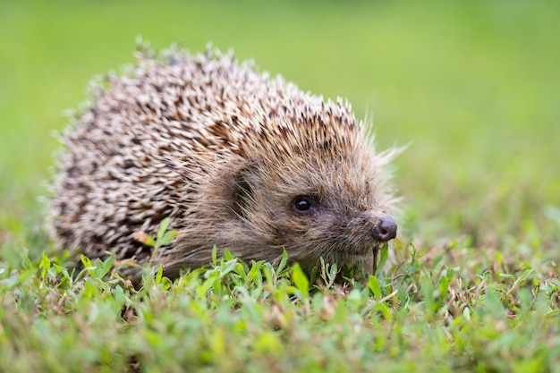 Hedgehog lying in the sun on the green grass on the lawn
