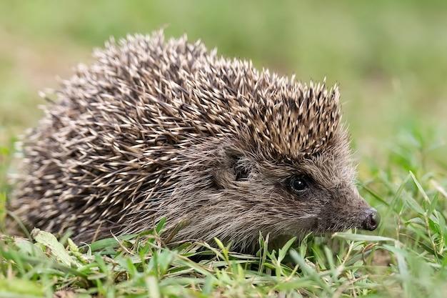 Hedgehog (scientific name: erinaceus europaeus) close up of a wild, native, european hedgehog, facing right in natural garden habitat on green grass lawn. horizontal. .